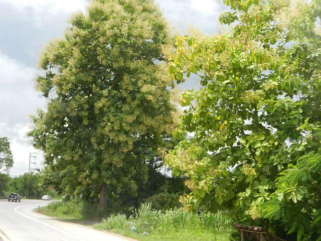 Teakbaum frucht  Thailand Norden 3